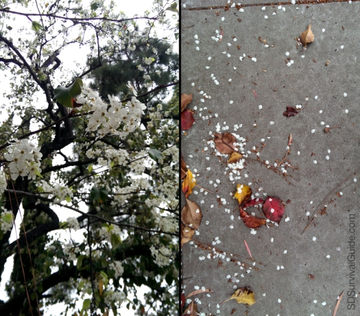 "All the flowering fruitless plums? That's ""snowy"" enough for me."