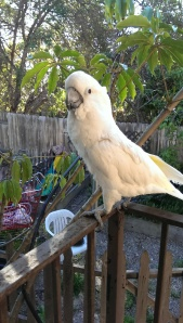 umbrella cockatoo on the porch