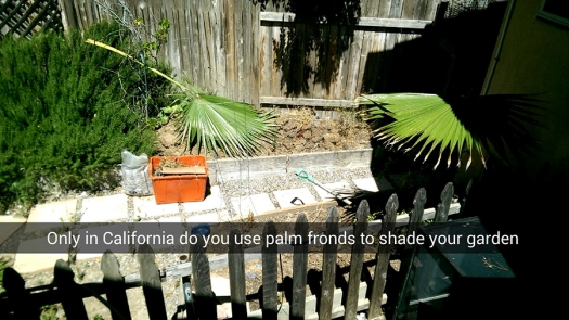 Only in California do you use palm fronds to shade your garden